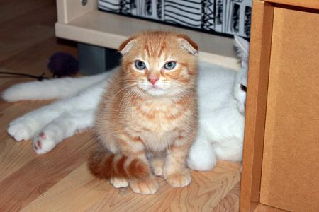 scottish fold baby